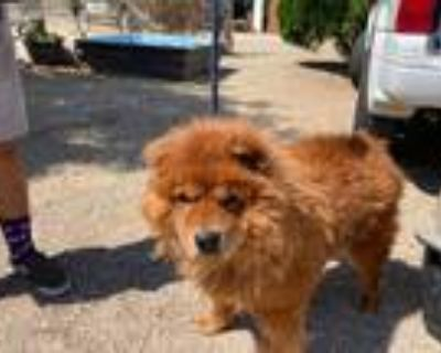 Adopt Teddy a Red/Golden/Orange/Chestnut Chow Chow / Mixed dog in Marina del