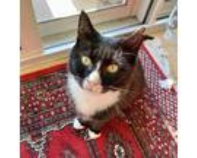 Adopt Joanna a All Black Domestic Shorthair / Mixed cat in Fairfax Station