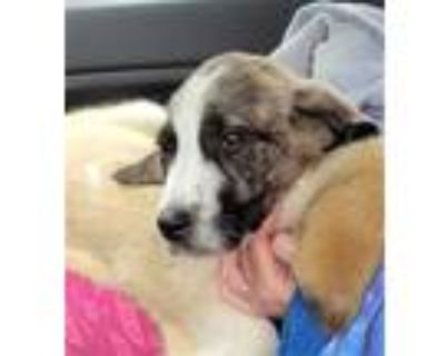 Adopt GOOSE a Brindle - with White Great Pyrenees / Mixed dog in Louisville