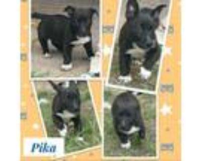 Adopt Pika a Corgi, Labrador Retriever