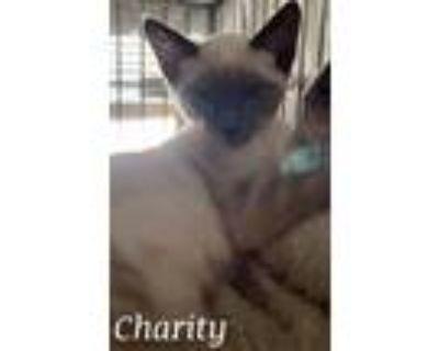 Adopt Charity a Domestic Short Hair, Siamese