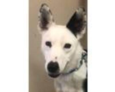 Adopt Maverick a Black - with White Australian Kelpie / Mixed dog in