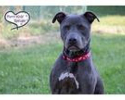 Buddy Rich, Pit Bull Terrier For Adoption In Lee's Summit, Missouri