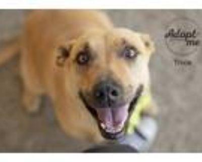 Adopt Trixie a Tan/Yellow/Fawn American Pit Bull Terrier / Labrador Retriever /