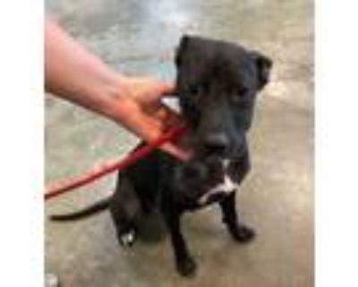 Adopt Mackayla a Black Labrador Retriever / Mixed dog in Rockwall, TX (32115462)