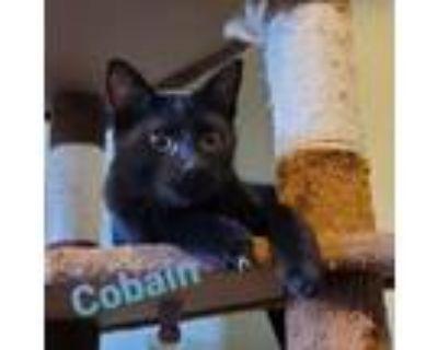 Adopt Cobain a Domestic Short Hair