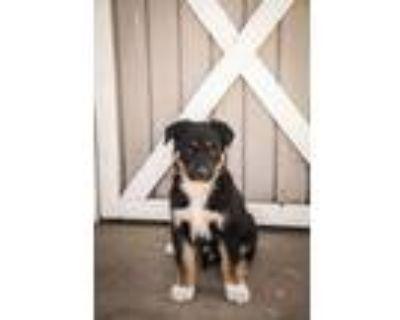 Adopt Tiger Woods a German Shepherd Dog