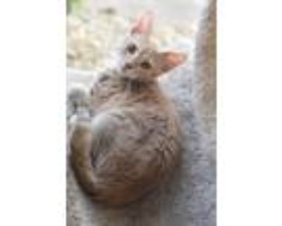 Adopt LW 3 (Tobias) a Domestic Shorthair / Mixed (short coat) cat in Fort Worth