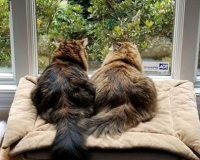 Marvelous Intelligent Loyal Hypo Allergenic Siberian Kittens
