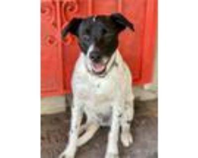 Adopt Bosco a Black - with White Border Collie / Pointer / Mixed dog in Modesto