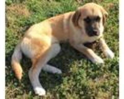 Adopt Kurt a Anatolian Shepherd