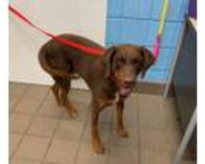 Adopt OAKLEY a Doberman Pinscher, Mixed Breed