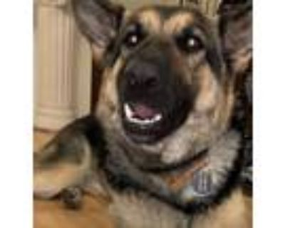 Adopt Marley a Black - with Tan, Yellow or Fawn German Shepherd Dog / Mixed dog