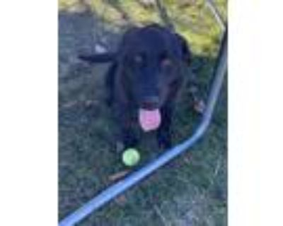 Adopt Dry Tortugas a Labrador Retriever / Mixed dog in Frederick, MD (30302377)