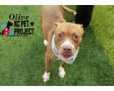 Adopt Olive a Brown/Chocolate American Pit Bull Terrier / Mixed dog in Kansas