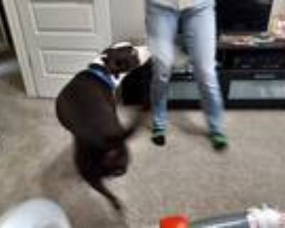Adopt Valiant a Black - with White American Pit Bull Terrier / Mixed dog in