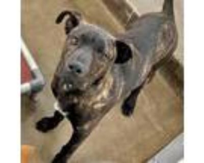 Adopt Knox Blooms a Brindle Catahoula Leopard Dog / Mixed dog in Mission