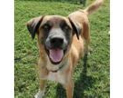 Adopt Thor a Brown/Chocolate Belgian Malinois / Mixed dog in Irving
