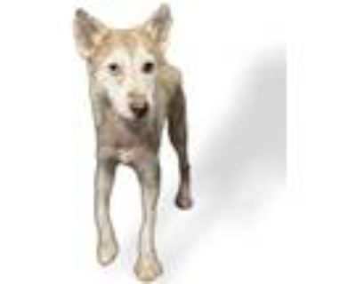 Adopt BOBBY a Tan/Yellow/Fawn - with White Mixed Breed (Medium) / Mixed dog in