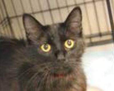 Adopt a All Black Domestic Mediumhair / Mixed (medium coat) cat in San Jose