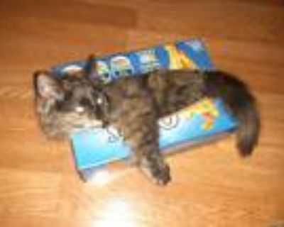 Adopt Shelly a Brown or Chocolate Calico / Mixed (short coat) cat in Dayton