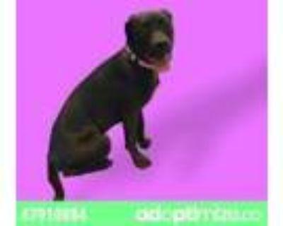 Adopt 47910884 a Brown/Chocolate Labrador Retriever / Mixed dog in El Paso