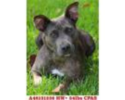 Adopt Flash a Brindle American Pit Bull Terrier / Mixed dog in Shreveport