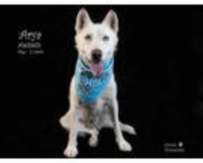 Adopt Dog a White Husky / Mixed dog in Thousand Palms, CA (31626891)