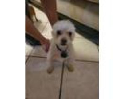 Adopt 47911282 a White Miniature Poodle / Mixed dog in El Paso, TX (31526108)