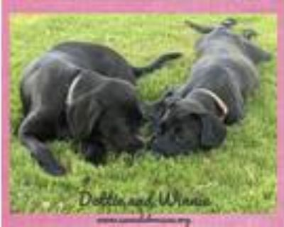 Adopt Dottie and Winnie a Labrador Retriever, Black Labrador Retriever