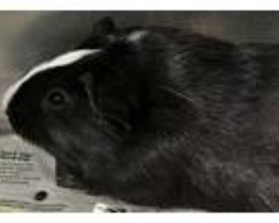 Adopt Bacon Bit a Guinea Pig