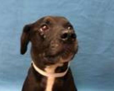 Adopt Piper a Black Labrador Retriever / Mixed dog in Golden Valley