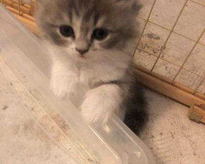 Persian kitten mix