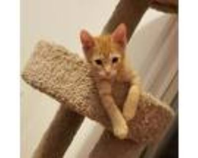 Adopt Sabine Wren a Orange or Red Tabby Domestic Shorthair / Mixed cat in