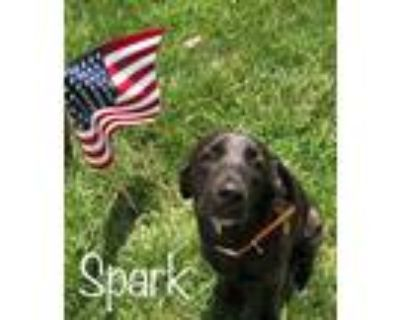 Adopt Spark a Black - with White Labrador Retriever / Mixed dog in Westfield