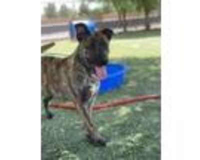 Adopt Gamora a Brown/Chocolate German Shepherd Dog / Mixed dog in El Paso