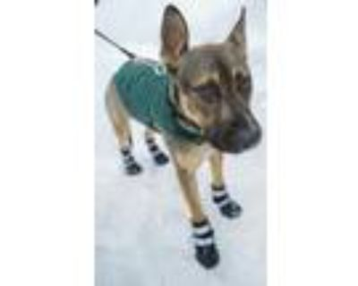 Adopt Ace a Brown/Chocolate - with Black German Shepherd Dog / American Pit Bull