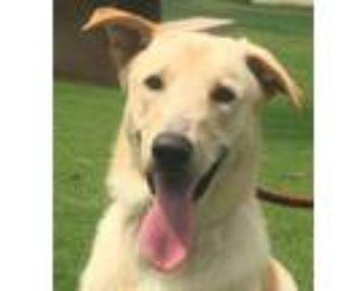 Adopt Mechum a Labrador Retriever