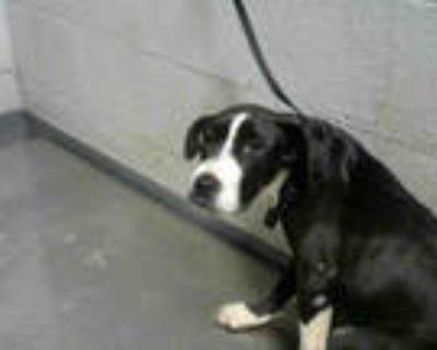 Adopt ZOLA a Black - with White Greyhound / Mixed dog in Atlanta, GA (32029360)