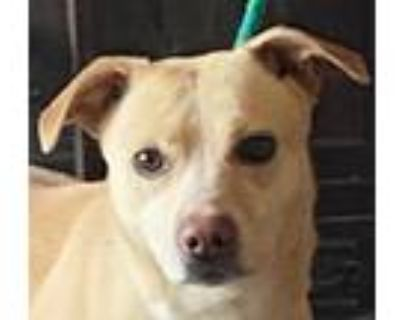 Adopt Peaches a Corgi, Pit Bull Terrier