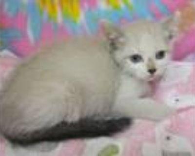 Adopt Raiden a Siamese, Domestic Short Hair