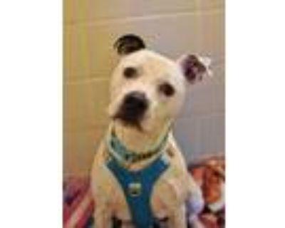 Adopt Ben 25138 a Black American Pit Bull Terrier / Mixed dog in Aiken