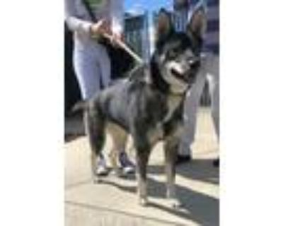 Adopt Shadow a Tricolor (Tan/Brown & Black & White) Cattle Dog / Husky / Mixed