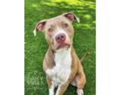 Adopt DOLLY a Tan/Yellow/Fawn - with White American Pit Bull Terrier / Mixed dog