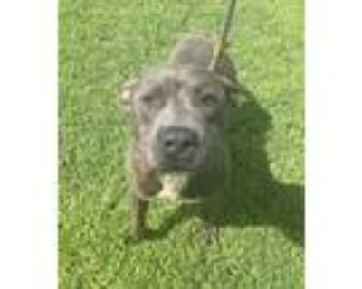 Adopt Pisces a Mixed Breed (Large) / Pit Bull Terrier / Mixed dog in Portsmouth