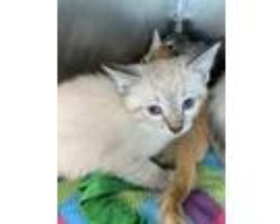 Adopt 48240246 a Tan or Fawn (Mostly) Siamese / Mixed cat in El Paso