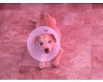 Adopt Taizon a Tan/Yellow/Fawn Labrador Retriever / Labrador Retriever / Mixed