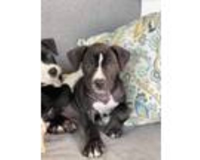 Adopt Zac a Black - with White Pit Bull Terrier / Mixed Breed (Medium) / Mixed