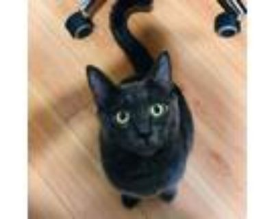 Adopt Chip a Gray or Blue Russian Blue / Mixed cat in Long Beach, CA (31952677)