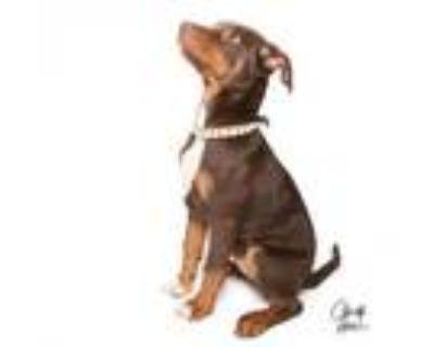 Adopt **Arya** RESCUE CENTER a Doberman Pinscher, Labrador Retriever